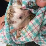 Pigmy Hedgehog